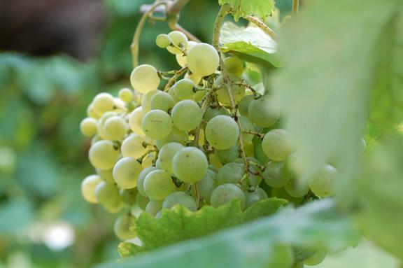 prosecco glera grapes asolo