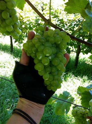 bianchetta grapes veneto prosecco