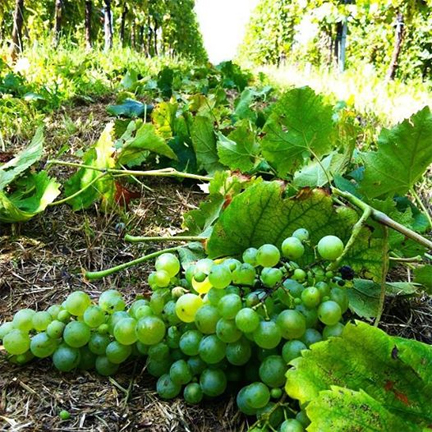 deleafing vineyard vine prosecco