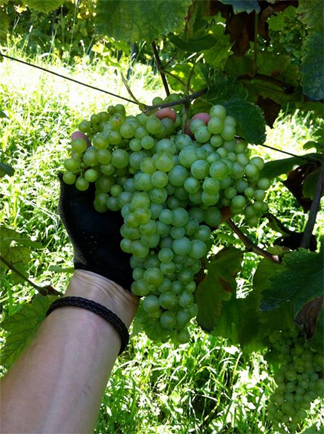 prosecco grapes 2014 rain