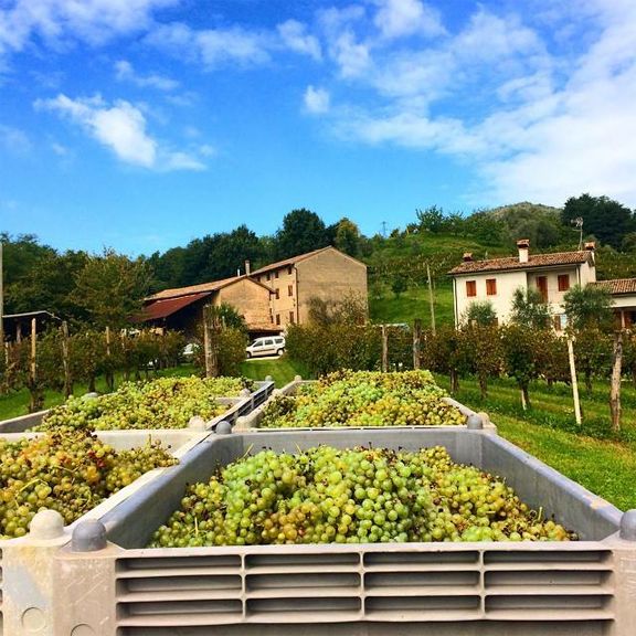 beautiful grapes italy