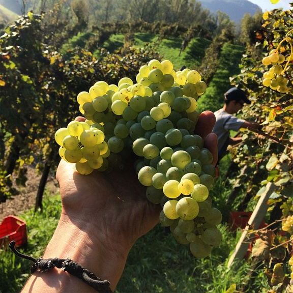 best grape bunch prosecco