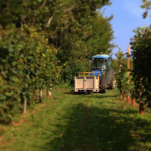 grape harvest italy 2014