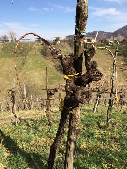 bianchetta grapes prosecco