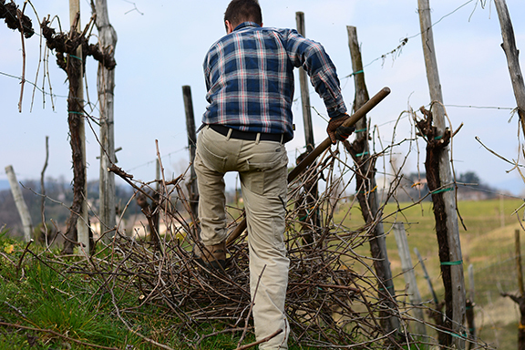 pruning vineyards prosecco italy